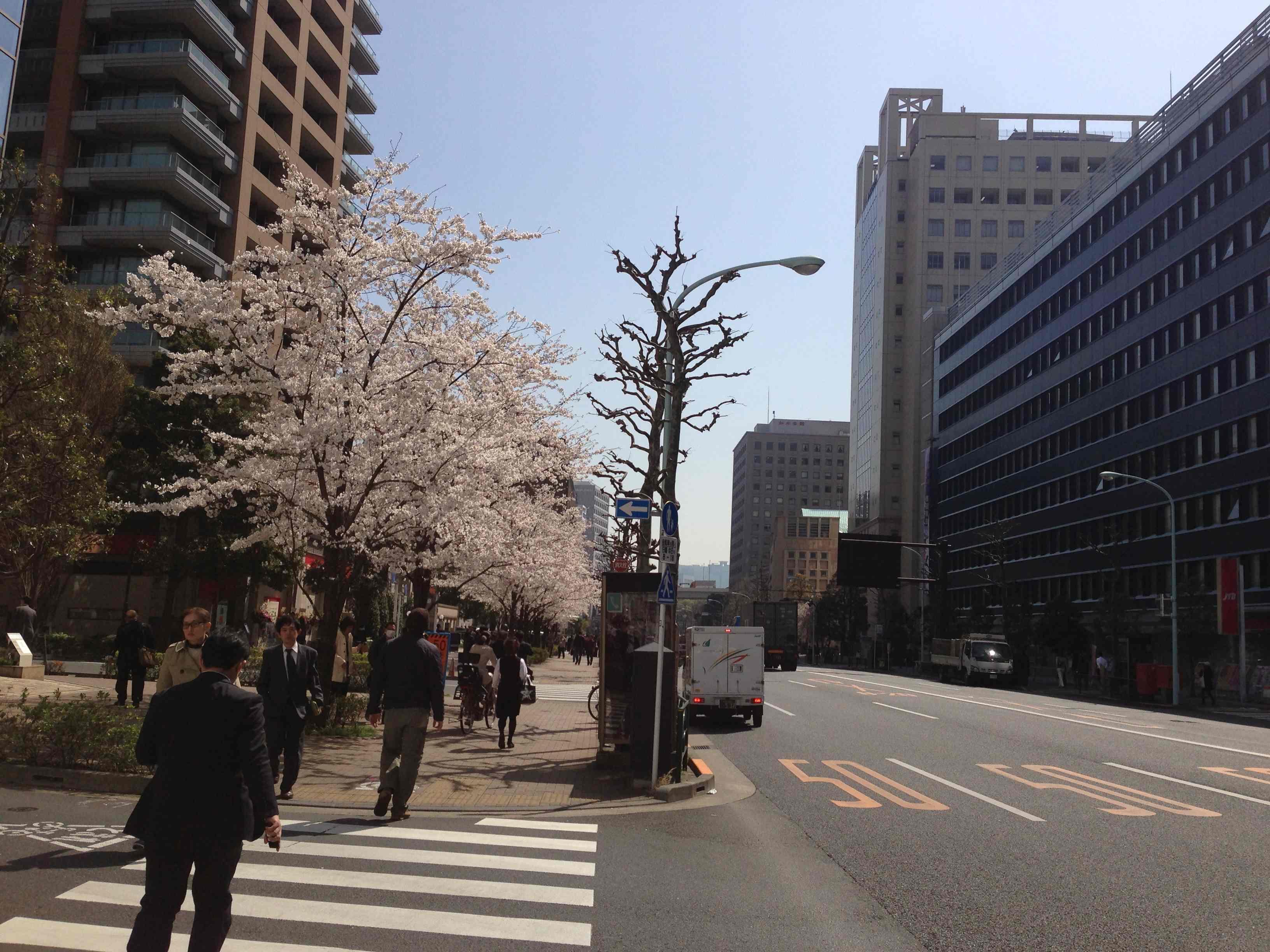 白山通り桜1