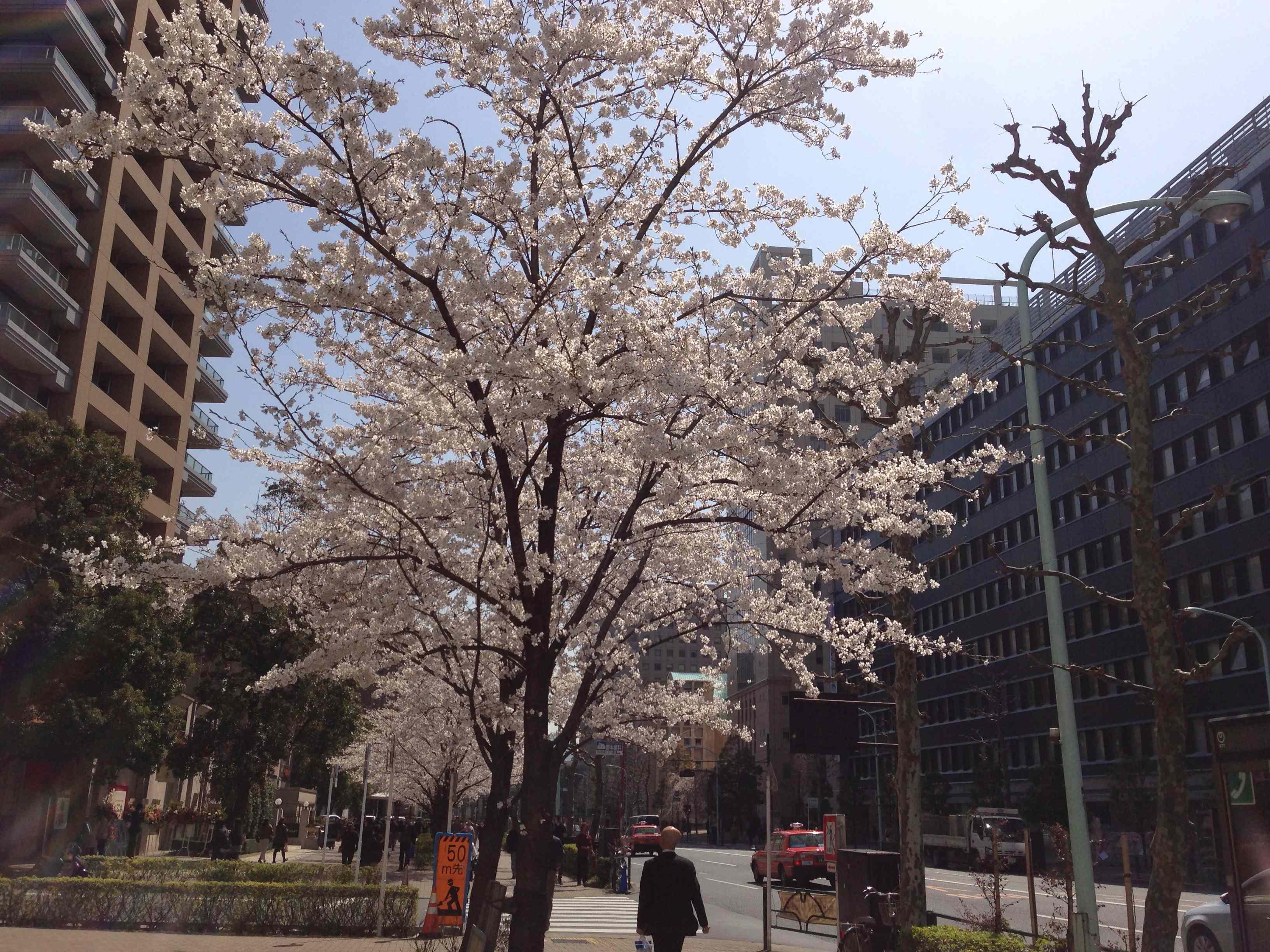 白山通り桜2
